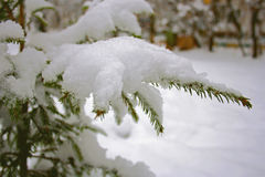 The snow on the tree branch. White crystal snow lies on the sprig of evergreen spruce. The season is winter Stock Photography