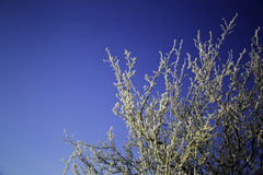 Snow on Tree Branches. Snow on the branches of a tree with a deep blue sky in the background Royalty Free Stock Image
