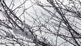 Snow on tree branches. Panning closeup shot of tree brunches with snow and ice stock video