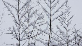 Snow at tree branches. Winter christmas season background. Snow falling on leafless tree branches in slow motion. winter christmas season background stock footage