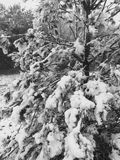 Snow on a tree. Fallen snow on branches Royalty Free Stock Photography