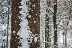 Snow on a tree in the forest. A Swiss forest covered in snow Stock Photos