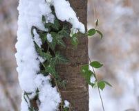Snow tree with ivy Stock Image