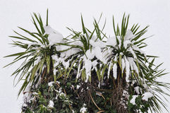Snow tree palm. Snow tree on a white background Stock Image
