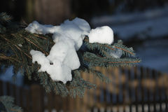 Snow and tree. Pine tree branch covered with spot of snow Stock Photos