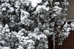 Snow tree. Pine tree full of snow after a big storm Royalty Free Stock Photo