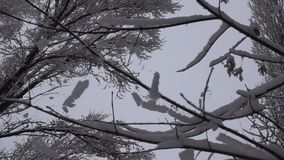 Snow Tree Shaking Slow Motion. This is a beautiful natural video of a Winter Frost Trees Branch Shaking Slow Motion Video Full HD...Really nice natural snowy stock footage