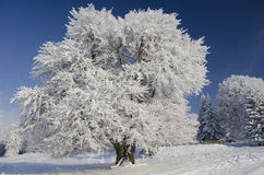 Snow tree under blue sky Royalty Free Stock Photography