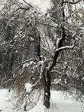 Snow Tree. Willow tree in a snow storm royalty free stock photo