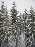 Snow and trees. Fir forest under the snow in Italy stock photography