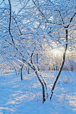 Snow on the trees. Royalty Free Stock Image