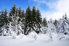 Snow trees. Winter landscape with a snow trees Stock Photo