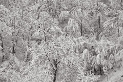 Snow on trees. Winter trees covered with snow, Valtrebbia, Italy Royalty Free Stock Image