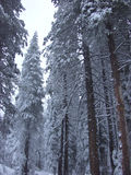 Snow Trees. Snow freshly covering the trees Stock Photo