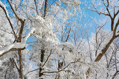The snow on the trees and blue sky. The photo was taken in Helong city Jilin province, China Royalty Free Stock Photography