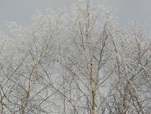 Snow on the trees. The snow covered the birches very beautifully with a white veil Royalty Free Stock Photo