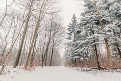 Snow on the trees in a forest Stock Photo