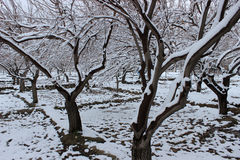 Snow trees. Snow in trees fresh and white Royalty Free Stock Images
