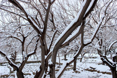 Snow trees. Snow in trees fresh and white Royalty Free Stock Image