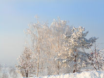 Snow trees in frosty day Royalty Free Stock Images