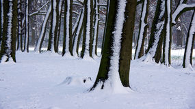 Snow trees in line Royalty Free Stock Photo