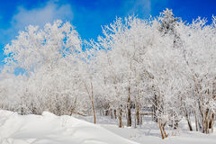 The snow and trees with soth rime and blue sky Stock Images