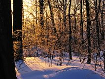 Snow, trees and sun. Sunset in a forest. Snow, trees and sun Stock Photo