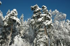 Snow trees on sunshine stock photos