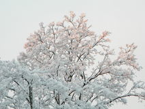 Snow on Trees Royalty Free Stock Photography