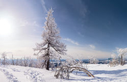 Snow and trees Stock Images