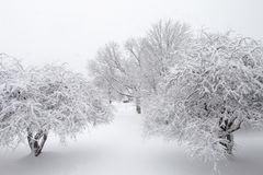 Snow Trees. Trees in winter covered with snow Royalty Free Stock Image