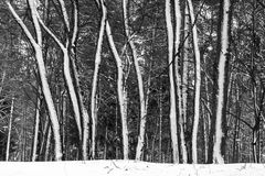 Snow on trees in winter forest. Royalty Free Stock Photography