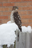 Snow Twisted Cooper's Hawk. A Cooper's Hawk braves the recent blizzard. While perched on a fence post that is covered in snow, the raptor turns its head 180 stock images