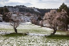Almond trees in bloom Royalty Free Stock Photography