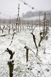Snow in vineyard. Vineyard covered with snow, England Stock Photo