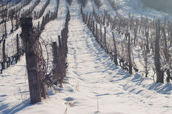 Snow in vineyard. Sunny day in vineyard covered with snow Royalty Free Stock Photography