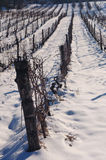 Snow in vineyard. Sunny day in vineyard covered with snow Royalty Free Stock Images