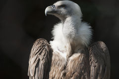 Snow vulture gyps himalayensis Stock Images