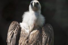 Snow vulture gyps himalayensis Royalty Free Stock Photos