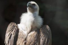 Snow vulture gyps himalayensis Royalty Free Stock Image
