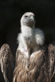 Snow vulture gyps himalayensis Stock Photography
