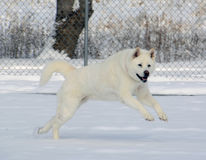 Snow White Akita Jumping in the Snow Royalty Free Stock Photo