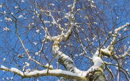 Snow on white birch. Looking into the blue sky underneath a white birch with snow on his branches stock photo