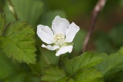 White Boysenberry Blossom. This is the snow white blossom of a boysenberry plant, Rubus. This blossoms center will become a fruit berry royalty free stock image