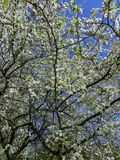 Snow-white branches of blooming cherry plum, in the spring garden stock photos
