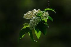 Snow-white cherry blossom. Russia. kuznetsk alatau. Cherry ordinary naturalized worldwide in temperate climate stock photo