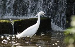Snow White Crane. A young snow white crane walking in a man-made pond Royalty Free Stock Image