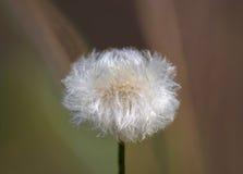 Snow-white dandelion. Snow-white dandelion close up Stock Photos
