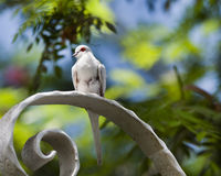 Snow White Diamond Dove Royalty Free Stock Photo