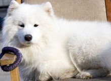 Snow white dog lies down. Dog with snow white hair and black noise.It is lying in a chair watching ahead Stock Photos